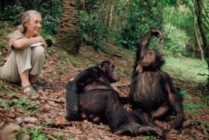 Jane Goodall, ilmuwan Inggris, meneliti simpanse selama puluhan tahun di Afrika. (foto sumber: nationalgeographic.om oleh Michael Nichols)