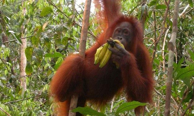Jika kita menyelamatkan hutan, maka orangutan juga akan ikut selamat. Ayo kita cegah pembalakan liar! (foto sumber: positivegraphics.com)