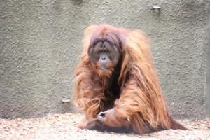 Orangutan Sumatra berciri khas rambut lebih panjang, warna rambutnya cerah, pipi bergelambir. (foto sumber: actforwildlife.org.uk)