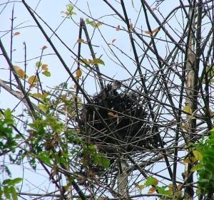 Karena orangutan hobi tidur, maka pada pagi dan siang hari ia membuat sarang dari ranting dan dahan pohon. (foto sumber: nationalgeographic.com)