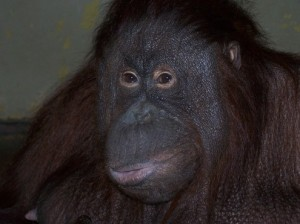 Orangutan Borneo atau Kalimantan (Pongo pygmaeus) rambutnya lebih gelap dan suka bermain di tanah. (foto sumber: actforwildlife.co.uk)