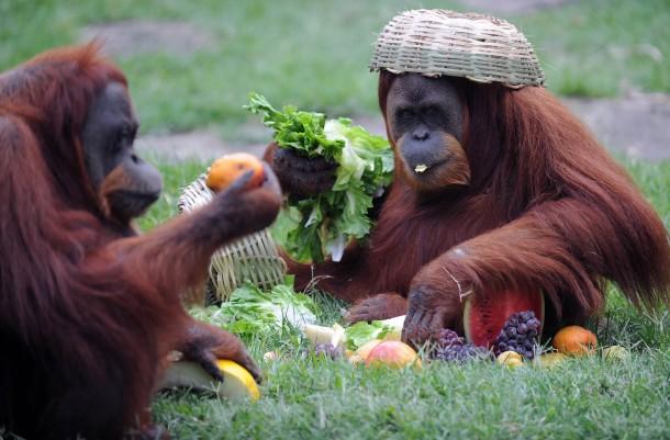 Makanan orangutan adalah buah-buahan, tetumbuhan, dedaunan dan serangga. (foto sumber: photorator.com)