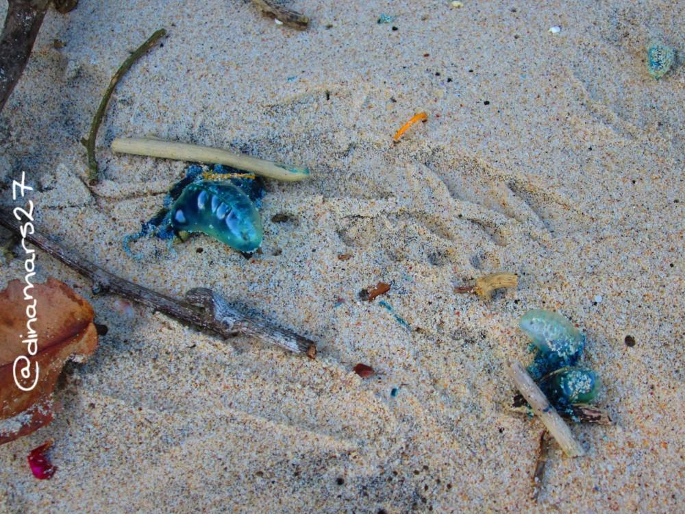 Putihnya pasir Pantai Coro dan medusa yang bertebaran. (foto: dok.pri)