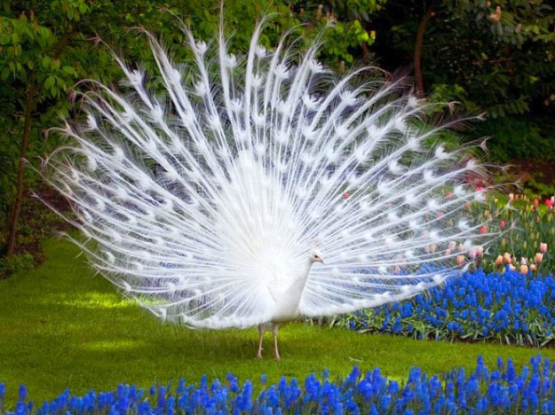 Anda lebih suka definisi cantik seperti Burung Merak? (foto sumber: hdimagesinfo.com)