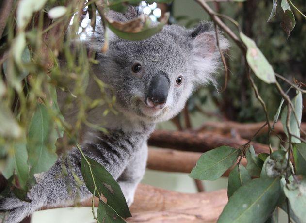 Koala, satwa langka yang dilindungi, dapat ditemukan di Featherdale Wildlife Park, Sydney, Australia. (foto sumber: featherdale.com.au)